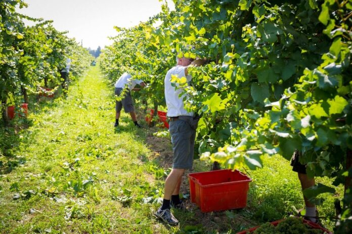 La vendemmia 2020 in un'azienda vitivinicola di Ceggia