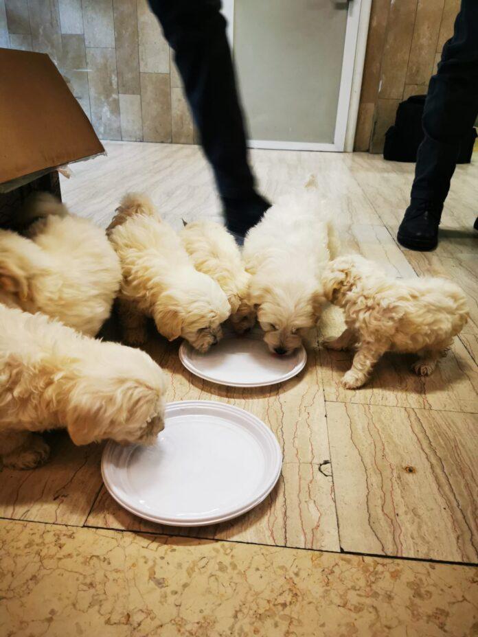 I cuccioli di pastore maltese rifocillati una volta scoperto il loro traffico