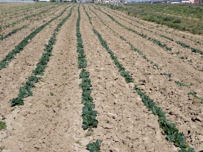Un campo seminato a spinaci