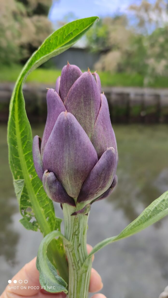 Un botolo di carciofo violetto di Sant'Erasmo