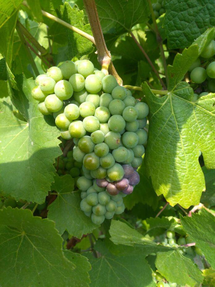 Pinot grigio in fase di invaiatura